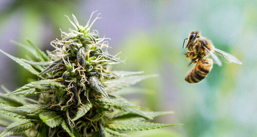 Cannabis can help preserve bees population
